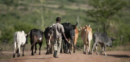 herding: Rear view of boy with herd of cattle, Serengeti National Park, Serengeti, Tanzania, Africa