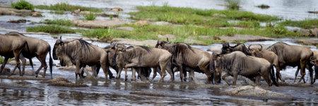 Wildebeest, Serengeti National Park, Serengeti, Tanzania, Africa photo