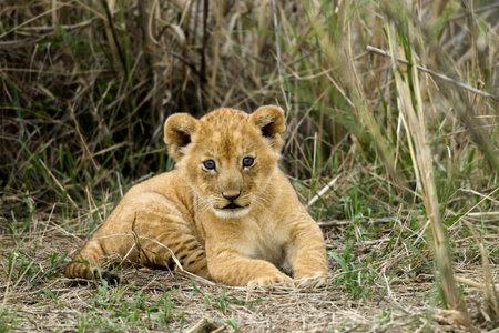 lion cub: Front view of lion cub, Serengeti National Park, Serengeti, Tanzania