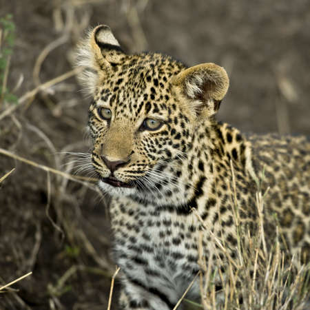 shape cub: Close-up of a leopard, Serengeti National Park, Serengeti, Tanzania, Africa