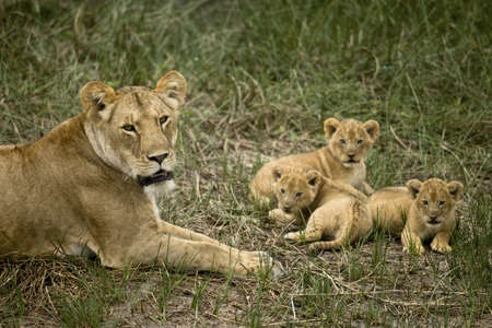 Lioness lying with her cubs in grass, looking at camera photo