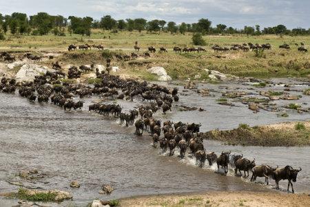 mara: Wildebeest, crossing river Mara, Serengeti National Park, Serengeti, Tanzania, Africa