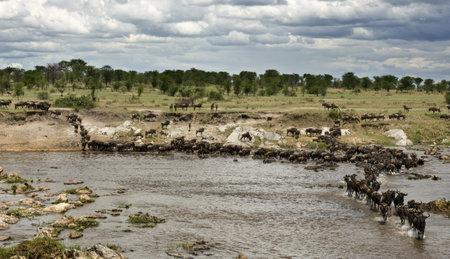 no movement: Wildebeest, crossing river Mara, Serengeti National Park, Serengeti, Tanzania, Africa