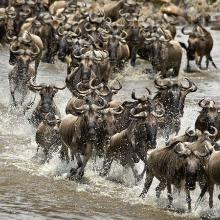 wildebeest: Wildebeest, crossing river Mara, Serengeti National Park, Serengeti, Tanzania, Africa