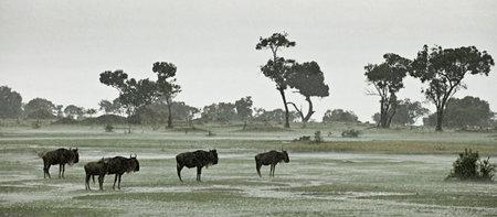 Wildebeest in the rain, Serengeti National Park, Serengeti, Tanzania, Africa photo