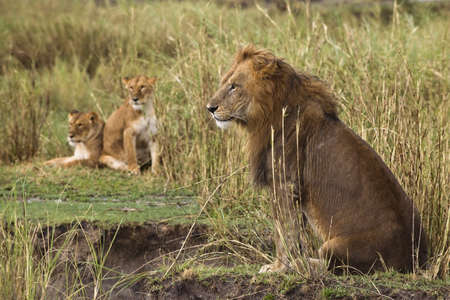 Adult lion sitting and two lionesses in the background, side view photo