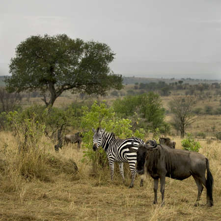 Wildebeest and zebra in the landscape, Serengeti National Park, Serengeti, Tanzania, Africa photo