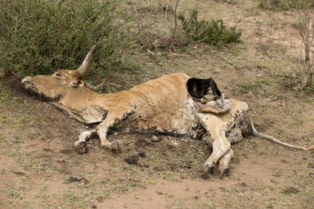 rotting: Dead cow on the ground, Tanzania, Africa