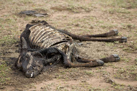 dead insect: Dead cow on the ground, Tanzania, Africa