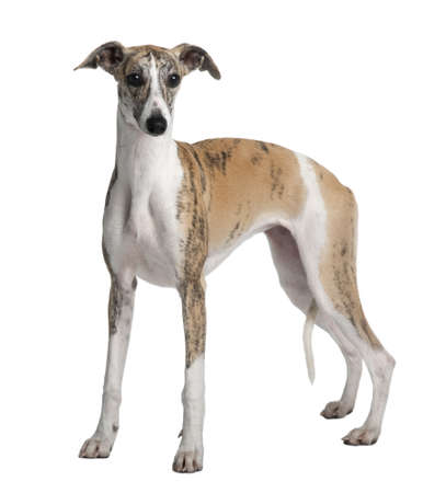Young Whippet, 8 months old, standing in front of white background photo