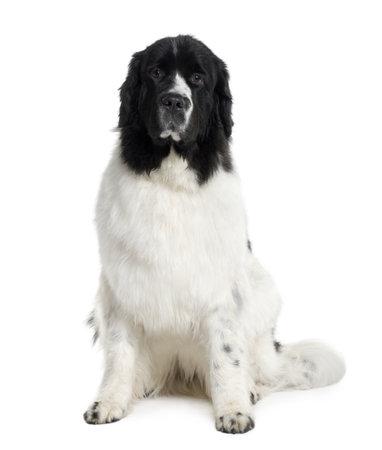 Newfoundland: Newfoundland dog, 2 years old, sitting in front of white background