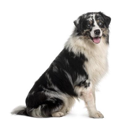 14: Perro de pastor australiano, 14 meses viejo, sentado delante de fondo blanco