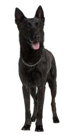 Dutch Shepherd Dog, 2 Years Old, standing in front of white background Stock Photo - 7120916