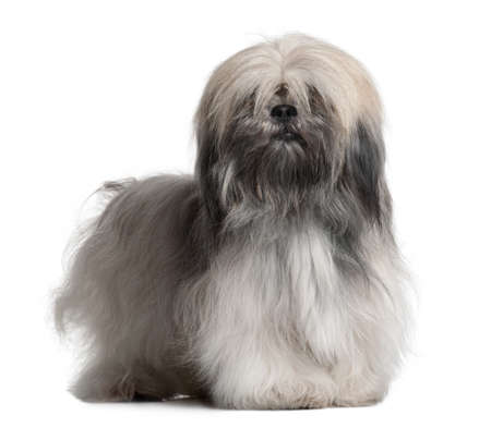 Lhassa Apso, 18 Months Old, in front of white background photo