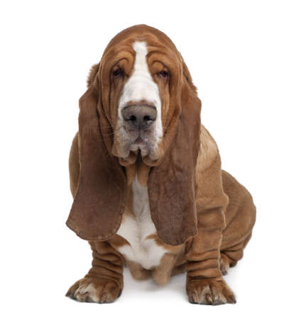 Basset Hound, 2 years old, sitting in front of white background photo