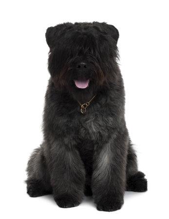 des: Bouvier des Flandres dog sitting in front of white background Stock Photo