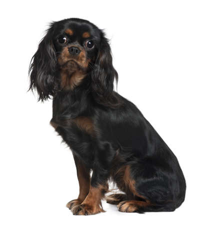 Cavalier King Charles, 9 Months Old, sitting in front of white background photo