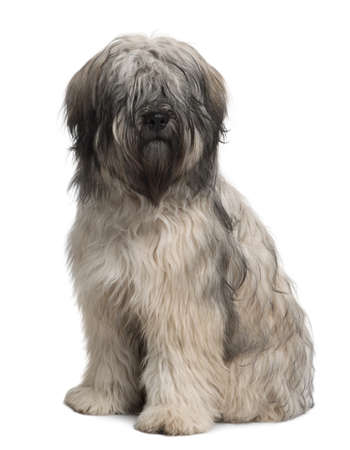 sheepdog: Catalan Sheepdog, 10 months old, sitting in front of white background