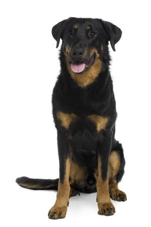 panting: Beauceron sitting and panting in front of a white background Stock Photo
