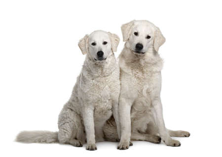 17: Dos de perros de Kuvasz, 17 meses de edad, sentado frente a fondo blanco