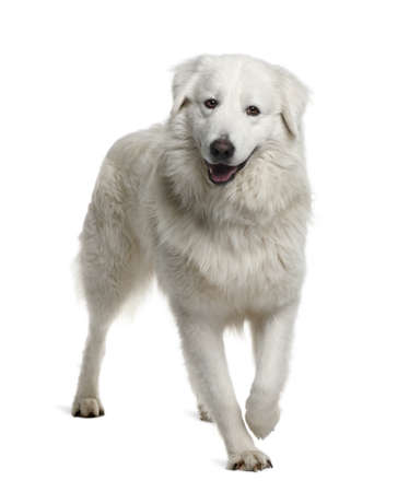 sheepdog: Maremma Sheepdog, 2 Years Old, standing in front of white background Stock Photo