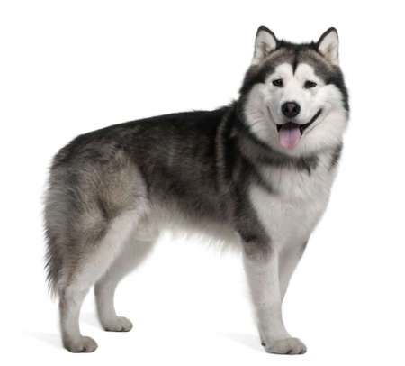 Alaskan malamute, 19 months old, standing in front of white background photo
