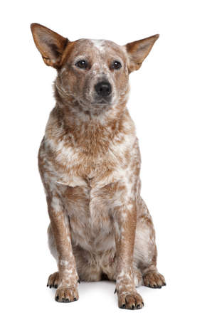Australian Cattle Dog, 2 Years Old, sitting in front of white background photo