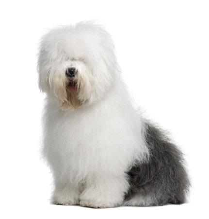 부드러운 털의: Old English Sheepdog, 3 Years old, sitting in front of white background 스톡 사진