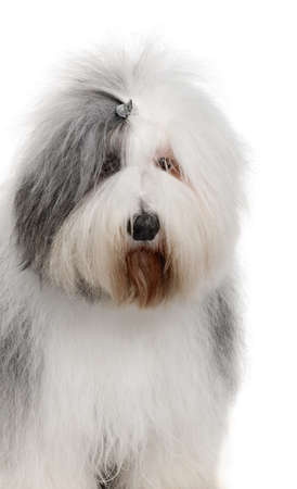 Old English Sheepdog, 2 Years old, in front of white background photo