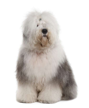 sheepdog: Old English Sheepdog, 1 Year old, sitting in front of white background Stock Photo