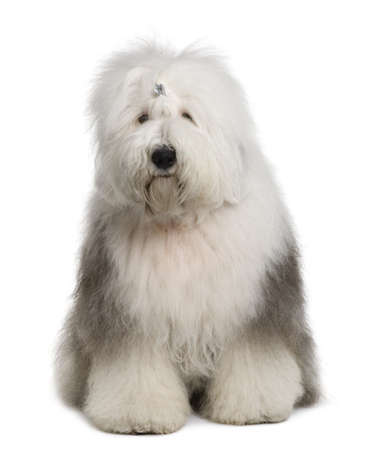 old english: Old English Sheepdog, 1 Year old, sitting in front of white background Stock Photo