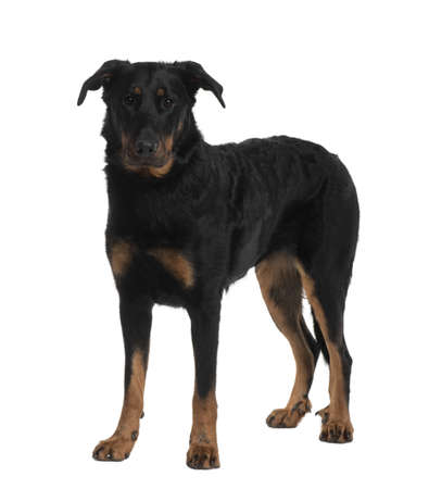 2 years old: Beauceron, 2 Years old, standing in front of white background Stock Photo