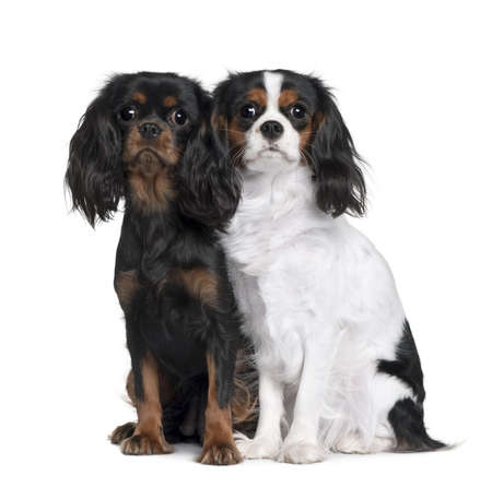 Two Cavalier King Charles Spaniels, 8 Months and 9 Month old, sitting in front of white background photo