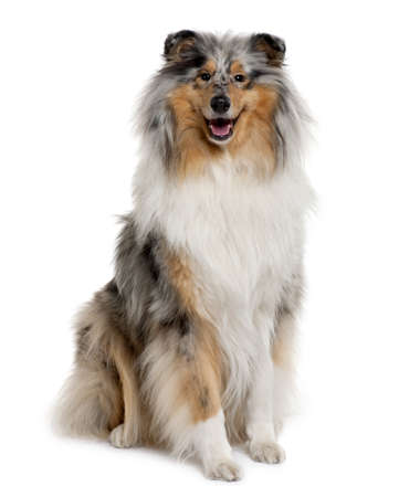 Rough Collie, 18 months old, sitting in front of white background photo