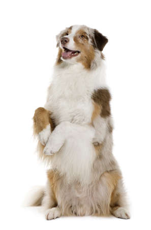 Australian Shepherd, 4 Years Old, standing on hind legs in front of white background photo