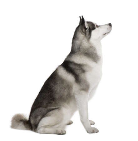 profile view: Akita Inu, 3 years old, sitting in front of white background Stock Photo
