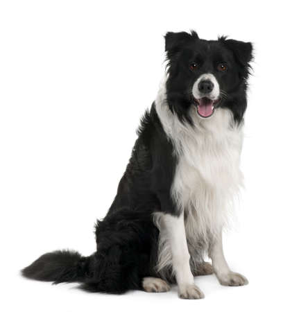 Border Collie, 3 years old, sitting in front of white background Stock Photo - 7120609