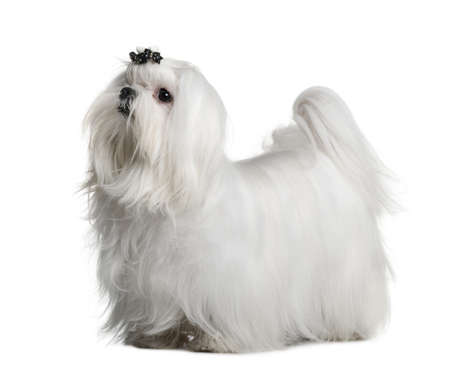 maltese dog: Maltese dog, 1 year old, standing in front of white background Stock Photo