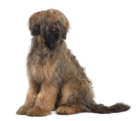 9 months old: Briard, 9 Months Old, sitting in front of white background Stock Photo