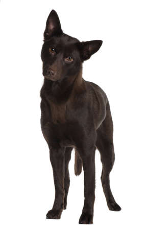 11 years: Australian Kelpie, 11 years old, standing in front of white background