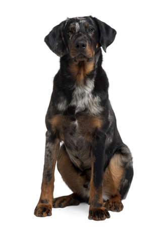 Beauceron, 7 Months old, sitting in front of white background photo