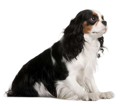 Cavalier King Charles Spaniel, 2 years old, sitting in front of white background photo