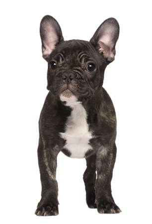 French Bulldog puppy, 3 months old, sitting in front of white background Stock Photo - 7120827