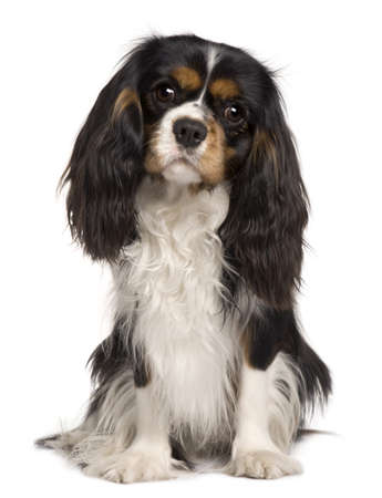 cavalier: Cavalier King Charles dog, 14 months old, sitting in front of white background Stock Photo