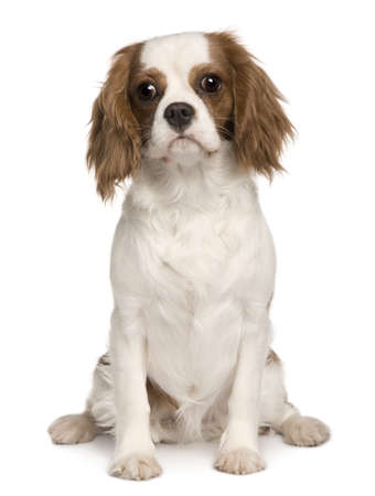 Cavalier King Charles dog, 6 months old, sitting in front of white background photo