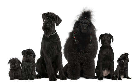 Group of dogs, Poodle, pug, griffon Bruxellois and a mixed breed in front of white background photo