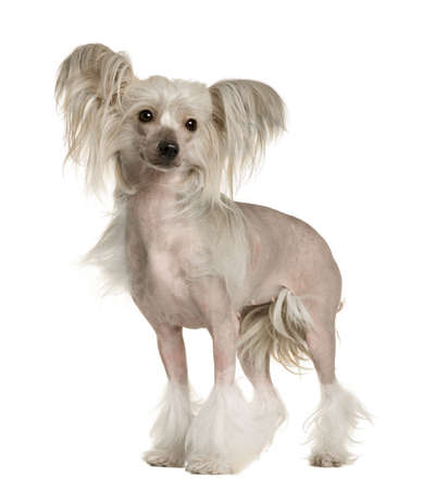 Chinese Crested Dog, 2 years old, standing in front of white background photo