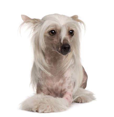 Chinese Crested dog sitting in front of white background Stock Photo - 7121179