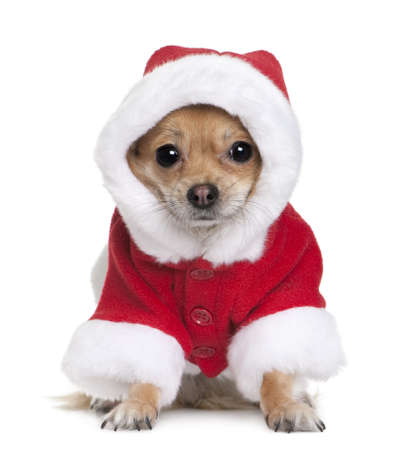 chihuahua puppy: Chihuahua in Santa coat, 1 year old, sitting in front of white background