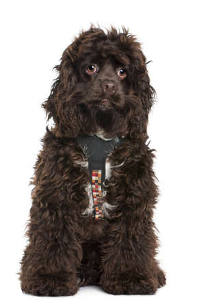 American cocker spaniel, 7 months old, wearing leash in front of white background photo